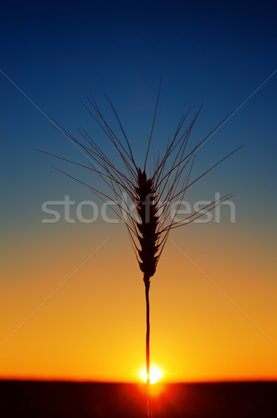Сток-фото: ушки · пшеницы · закат · небе · пейзаж · фон