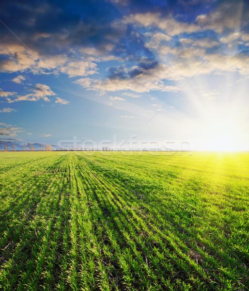 зеленый ячмень закат трава солнце промышленности Сток-фото © mycola
