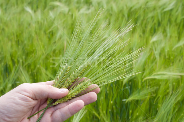 ear of green wheat in hand Stock photo © mycola