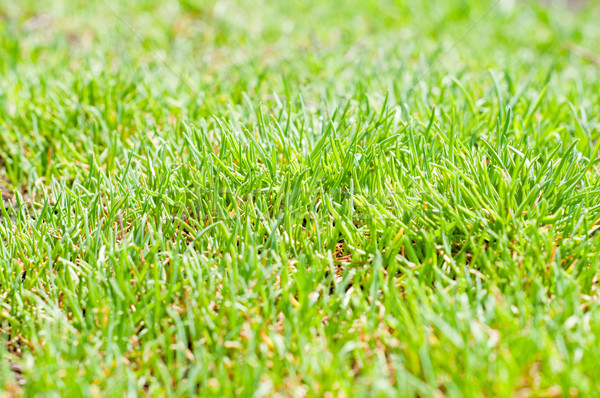 green grass closeup Stock photo © mycola