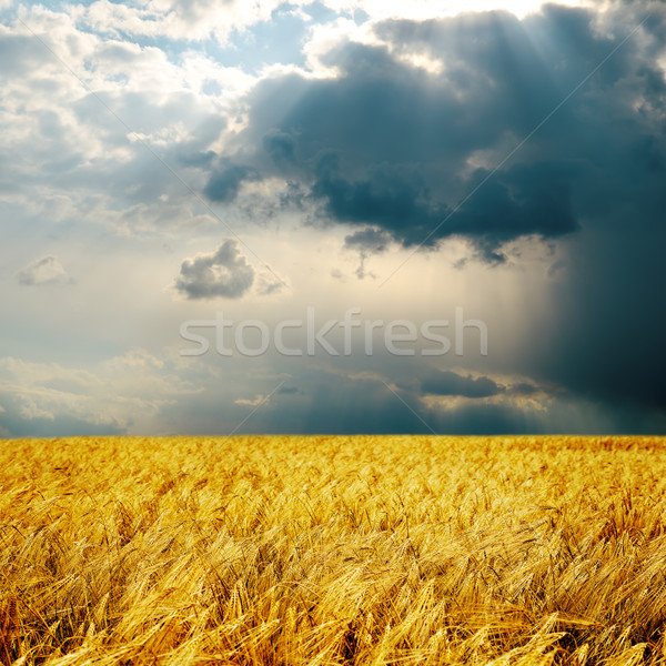 rainy day and harvest Stock photo © mycola