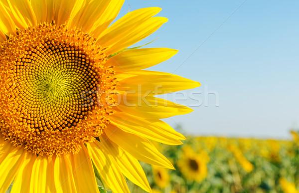 Sonnenblumen Bereich Blume Frühling Blatt Stock foto © mycola