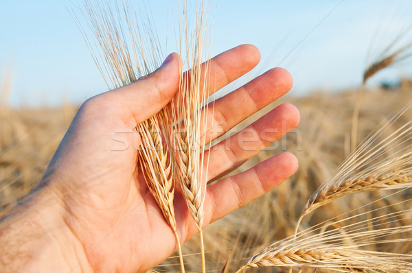 ears of wheat in a hand above the field Stock photo © mycola