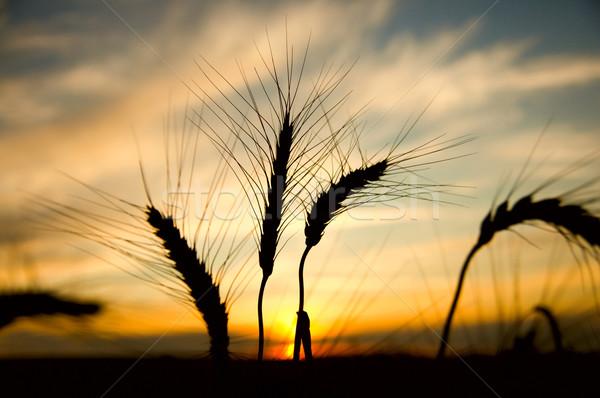 ripe wheat at sunset Stock photo © mycola