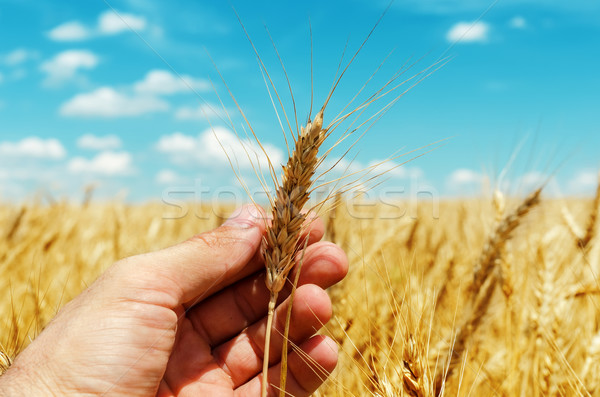 showing of new rip harvest in hand. golden field under blue sky Stock photo © mycola