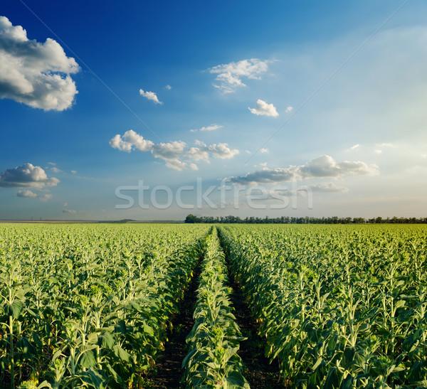 Foto d'archivio: Campo · verde · girasoli · nuvoloso · cielo · sera