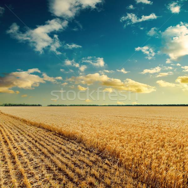 日没 麦畑 風景 夏 フィールド オレンジ ストックフォト © mycola