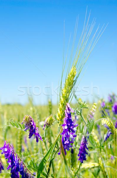 Zielone jęczmień działalności niebo trawy Zdjęcia stock © mycola