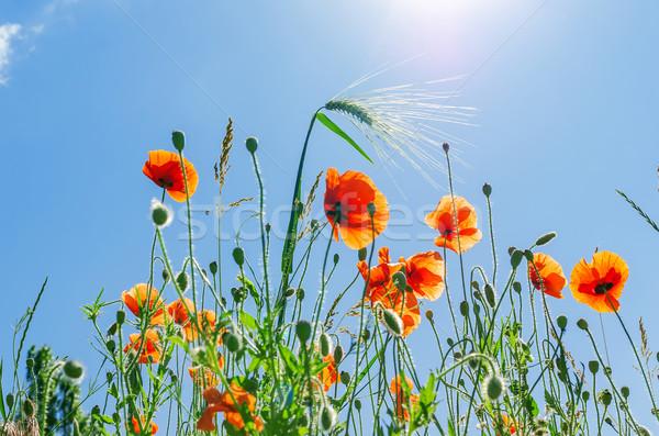 Stockfoto: Rood · klaprozen · blauwe · hemel · bloem · voorjaar · gras