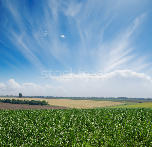 green maize field under blue sky and clouds Stock photo © mycola