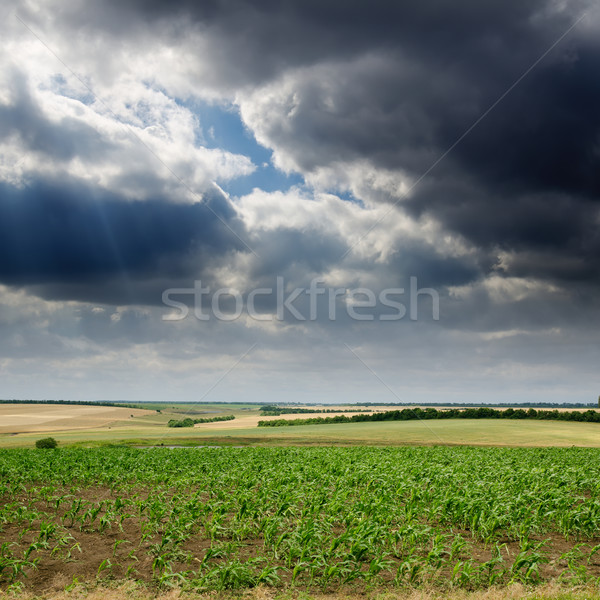 field with green maize under dramatic sky Stock photo © mycola