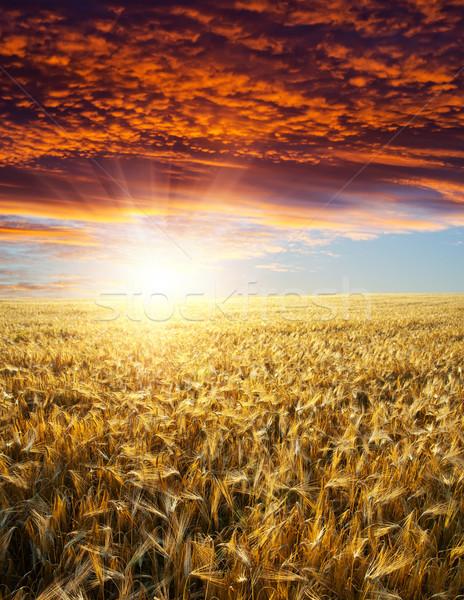 Campo ouro orelhas trigo pôr do sol natureza Foto stock © mycola