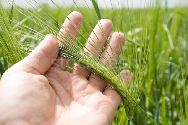Strony jeden zielone jęczmień żywności trawy Zdjęcia stock © mycola