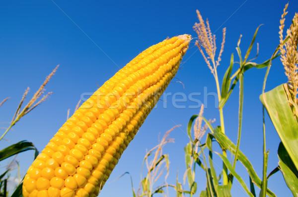 fresh raw maize Stock photo © mycola