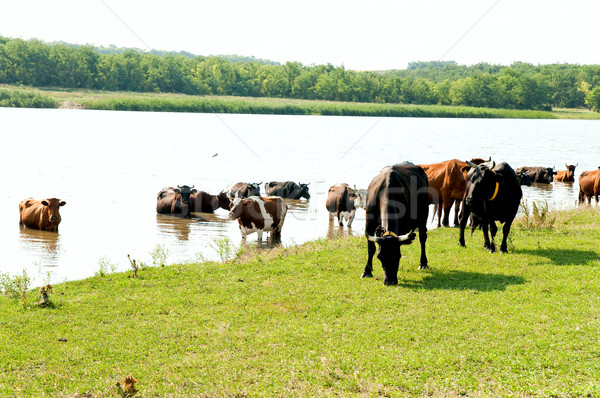 red steppe and black cows on watering Stock photo © mycola