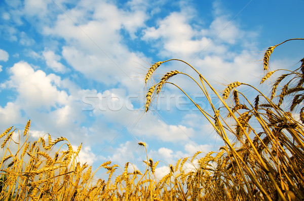 Golden wheat ears with blue sky over them. south Ukraine Stock photo © mycola