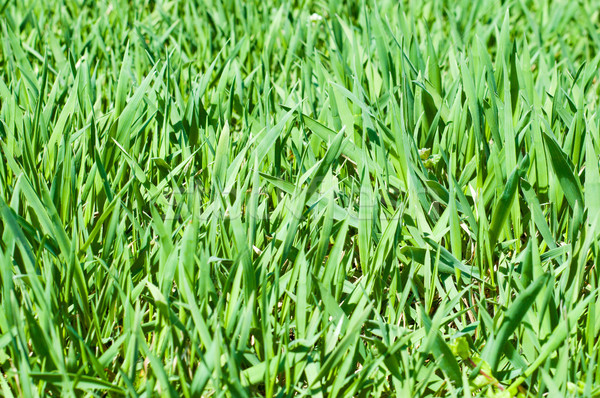 Green grass background Stock photo © mycola
