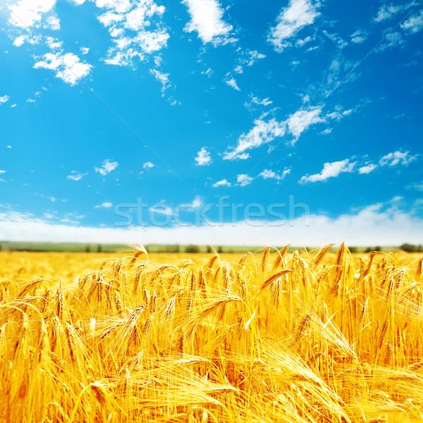 golden harvest on field and blue sky Stock photo © mycola