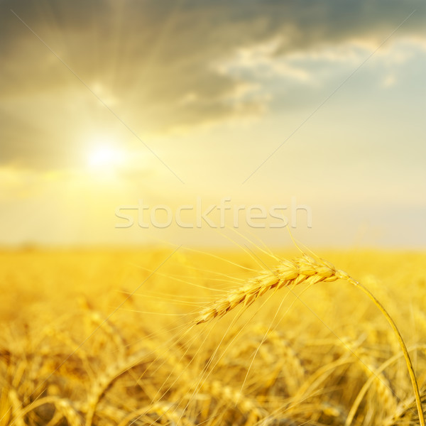 sunset over golden field. soft focus Stock photo © mycola