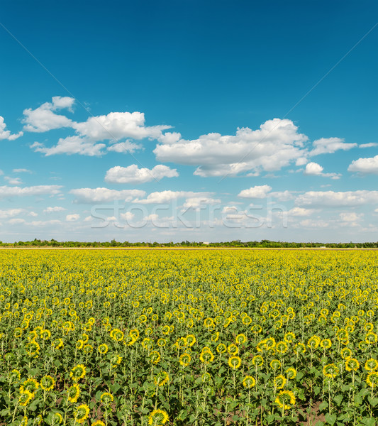 field with back side of sunflowers and sky with clouds Stock photo © mycola