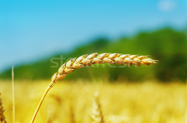 golden spica over field. soft focus Stock photo © mycola