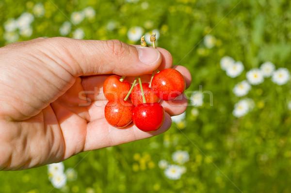 cherry berry Stock photo © mycola
