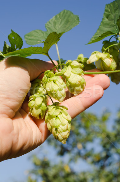 Stock photo: green hops in hand