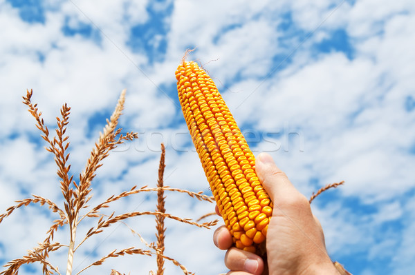 golden maize in hand over field Stock photo © mycola