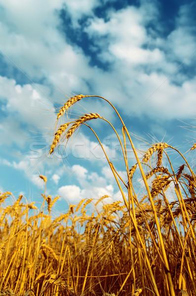 麦畑 曇った 空 風景 背景 フィールド ストックフォト © mycola