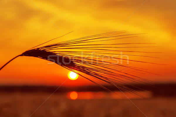 Stock photo: red sunset over field with wheat and pond
