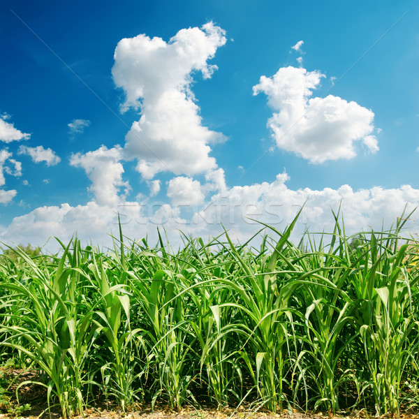 green maize field and clouds Stock photo © mycola