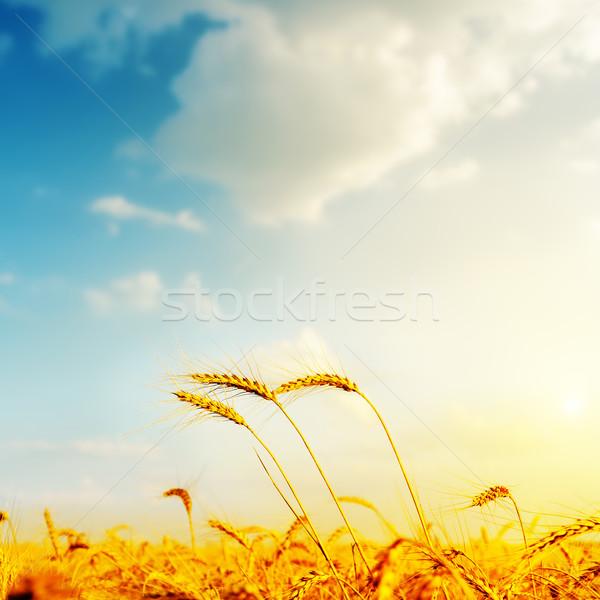 Dourado cevada pôr do sol macio foco céu Foto stock © mycola
