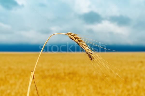 one golden ear of wheat. soft focus Stock photo © mycola
