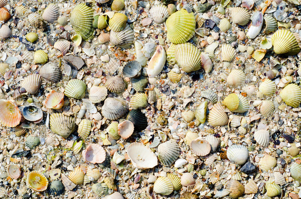 sea shells with sand Stock photo © mycola