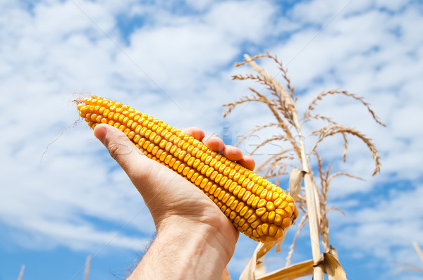maize in hand Stock photo © mycola