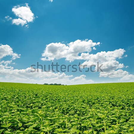 Foto d'archivio: Girasoli · verde · campo · nubi · cielo · blu · primavera