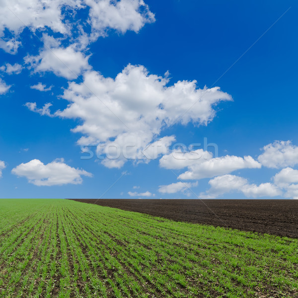 field with green shots and cloudy sky Stock photo © mycola