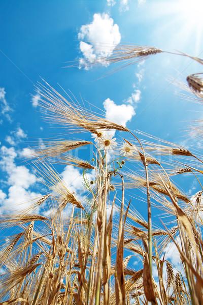 Zdjęcia stock: Pszenicy · mętny · niebo · krajobraz · zdrowia · lata