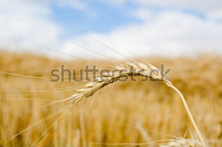 麦畑 夏 自然 パン 小麦 ストックフォト © mycola