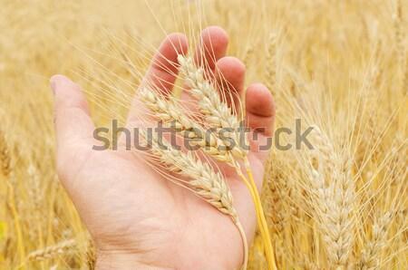 Altın kulak buğday el gıda manzara Stok fotoğraf © mycola