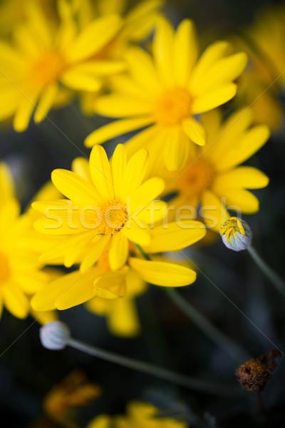 Közelkép százszorszép virág fű kert háttér Stock fotó © myfh88