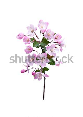 Blooming peach blossom in spring isolated on white background Stock photo © myfh88