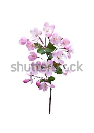 Perzik bloesem voorjaar geïsoleerd witte Stockfoto © myfh88