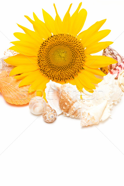 Słonecznika morza ogród tle lata powłoki Zdjęcia stock © myfh88