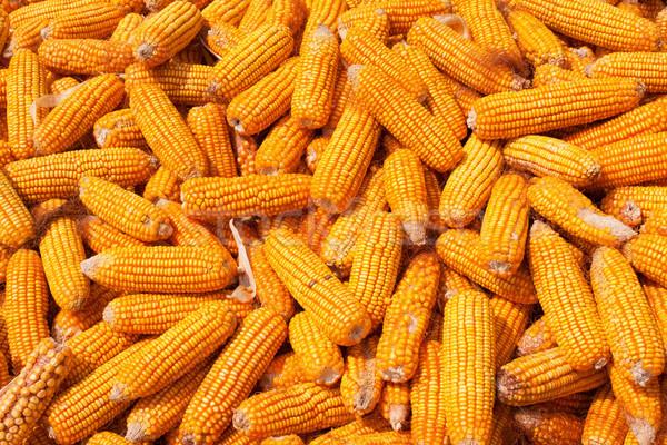 Mais oogst natuur vruchten achtergrond zomer Stockfoto © myfh88