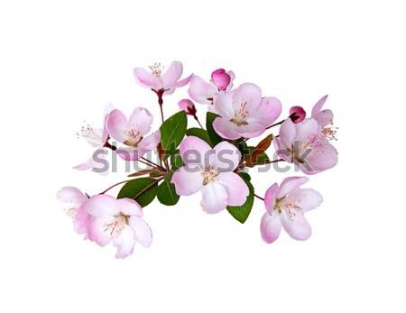 şeftali çiçek bahar yalıtılmış beyaz Stok fotoğraf © myfh88