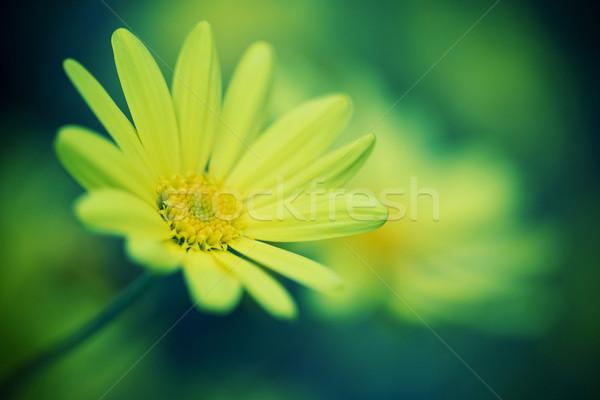 Papatya çiçek bahar çim doğa Stok fotoğraf © myfh88