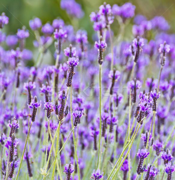 İspanyolca lavanta çiçek doku ağaç park Stok fotoğraf © myimagine
