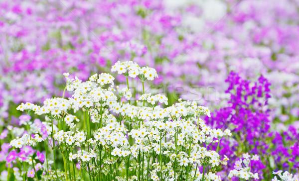 Fransız lavanta çiçek ağaç bahar park Stok fotoğraf © myimagine