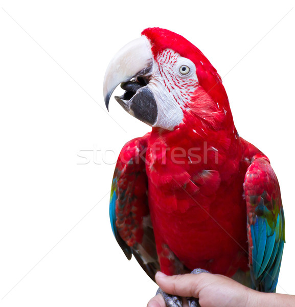 Macaw parrot on white background Stock photo © myimagine